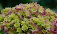 roze groene hortensia